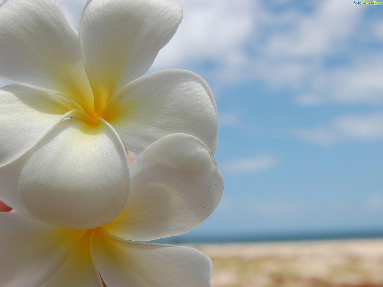 Гавайские цветы картинки 8