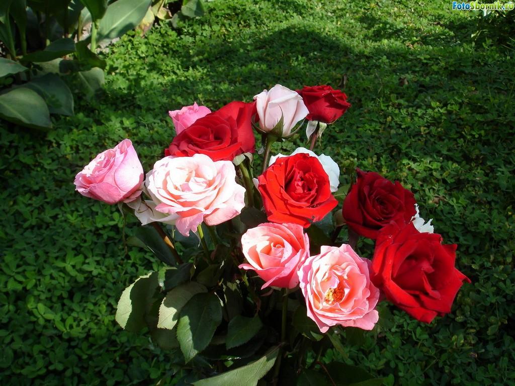 Самая неприхотливая плетистая роза 3