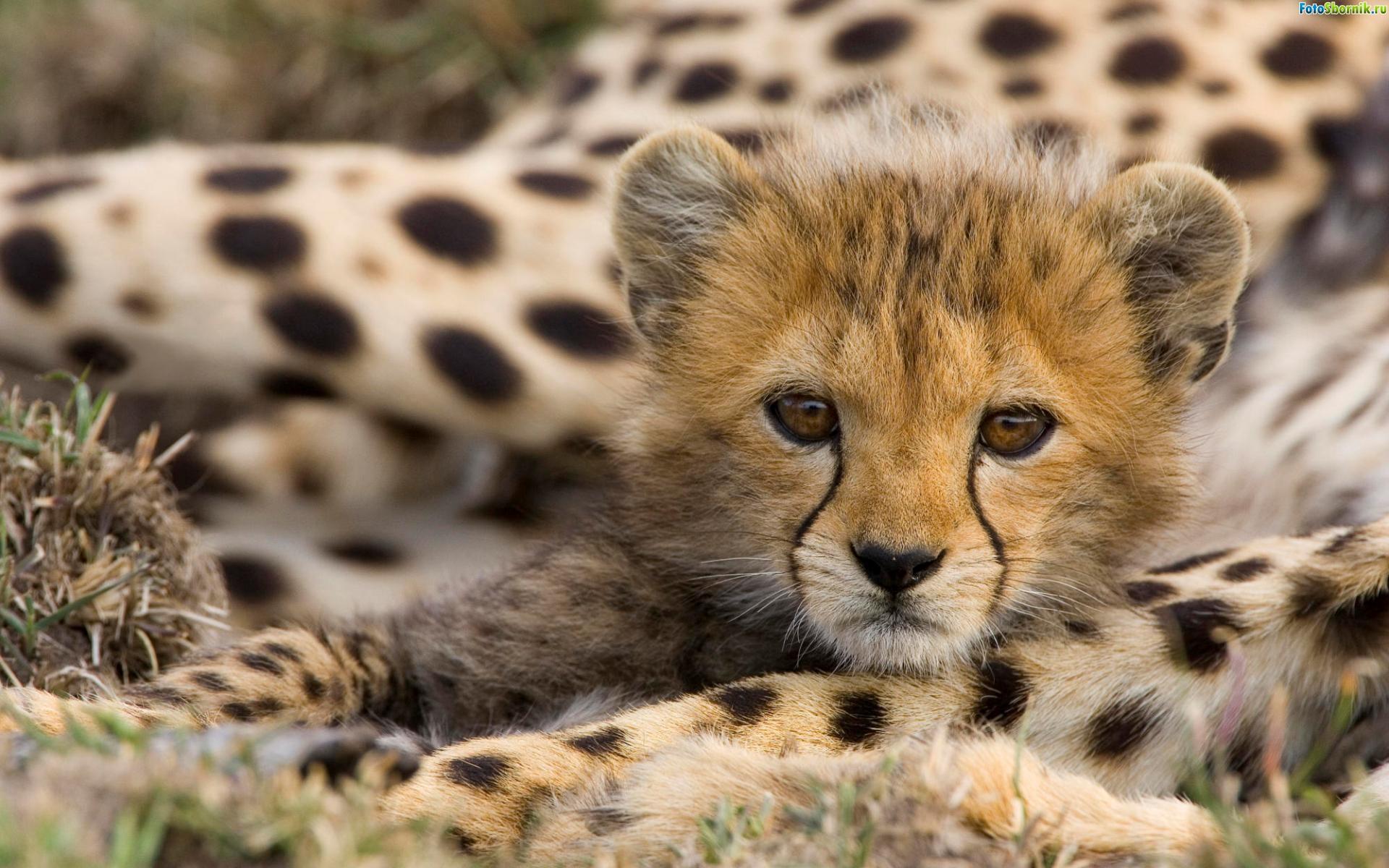 фото котята леопарда