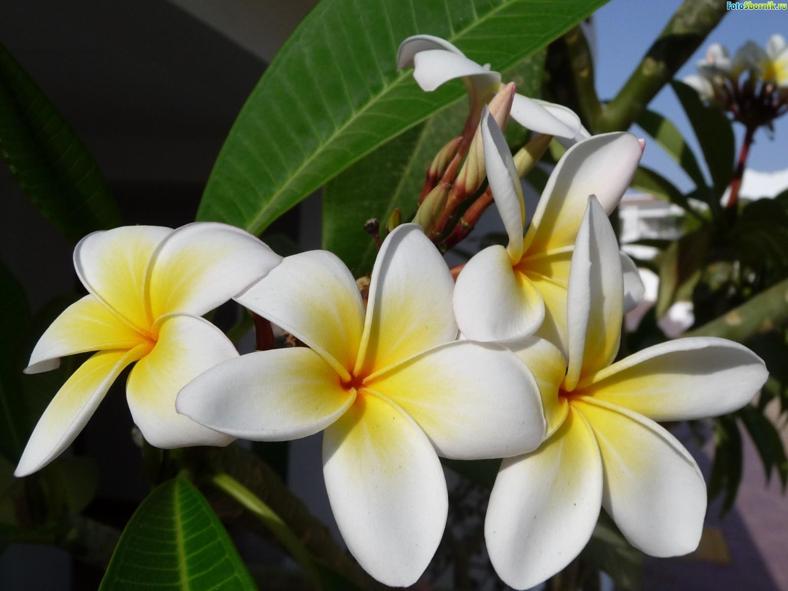 Комнатные цветы фото фикусы